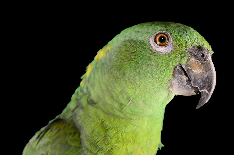Papegaai-kopen